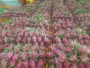 Mexico: Proposal to increase dragon fruit 1 production in Yucatan